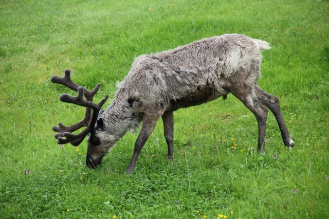 Reindeer, north Cape, Norway