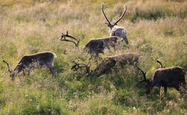 reindeer, North Cape