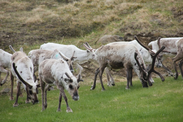 reindeer, north cape, nordkapp, arctic race of norway